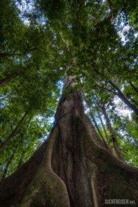 giant tree Arenal Vulcano Nationalpark Costa Rica Central America