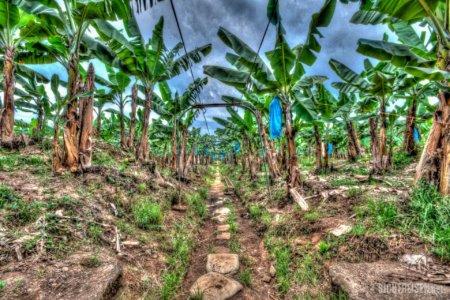 banana plantation Costa Rica Central America