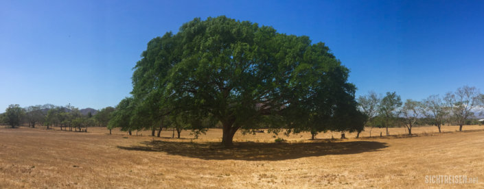 tree Samara Costa Rica Central America